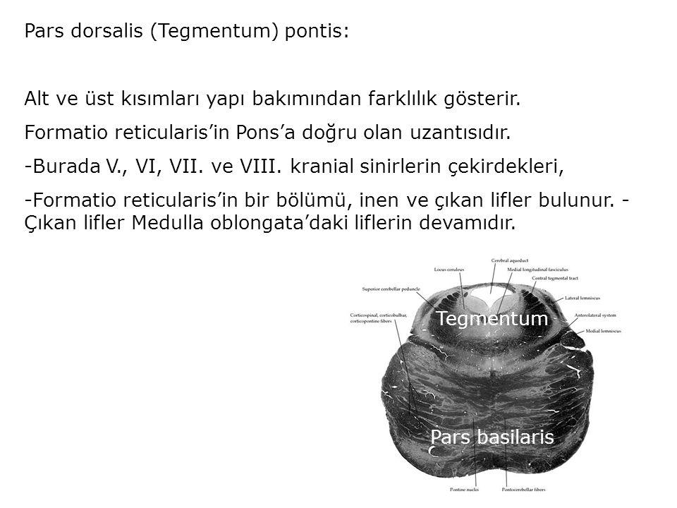 Pars dorsalis (Tegmentum) pontis: Alt ve üst kısımları yapı bakımından farklılık gösterir.