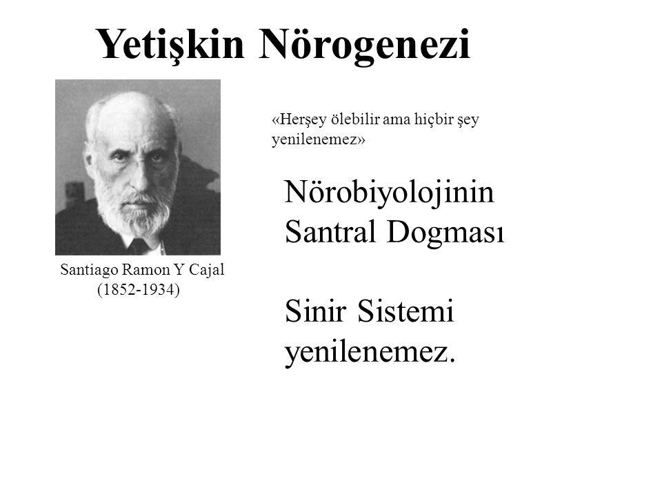 Yetişkin Nörogenezi Santiago Ramon Y Cajal (1852-1934) «Herşey ölebilir ama hiçbir şey yenilenemez» Nörobiyolojinin Santral Dogması Sinir Sistemi yeni