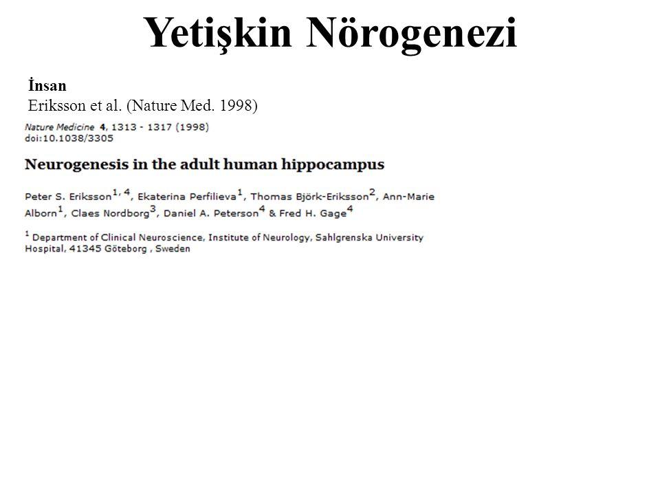 Yetişkin Nörogenezi İnsan Eriksson et al. (Nature Med. 1998)