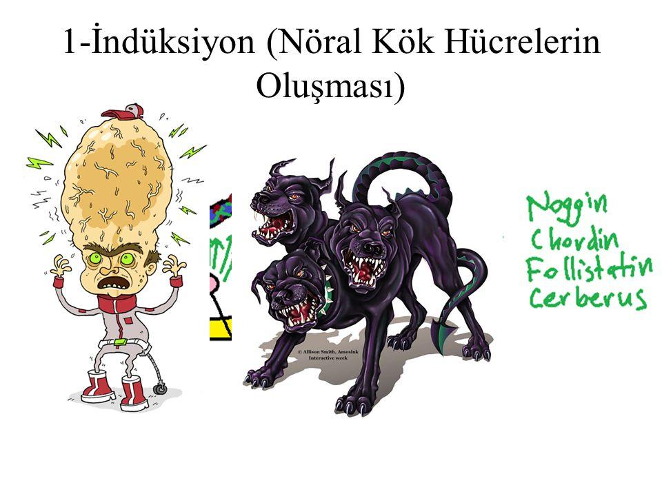 1-İndüksiyon (Nöral Kök Hücrelerin Oluşması)
