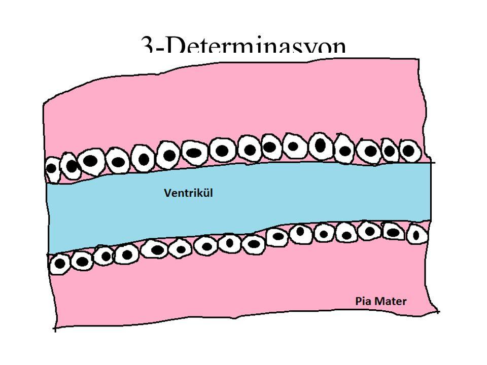 Hücre determinasyonu Notch-Delta