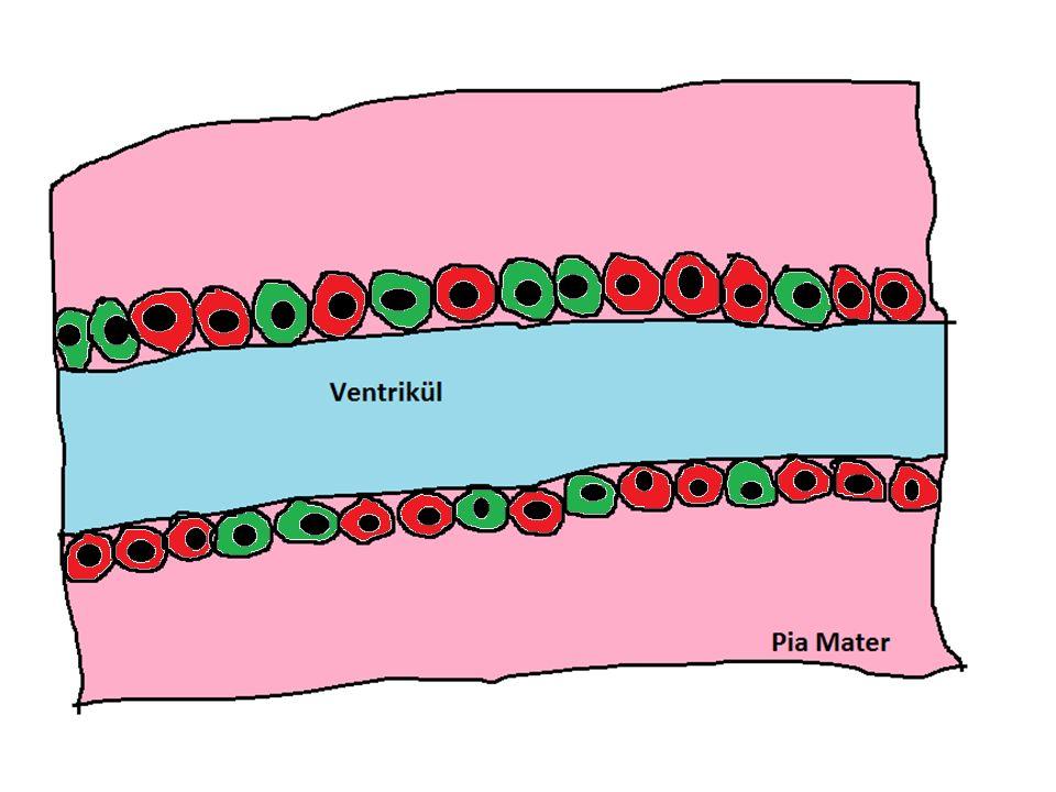 G1 S G2 Radial Glia Hücreleri M
