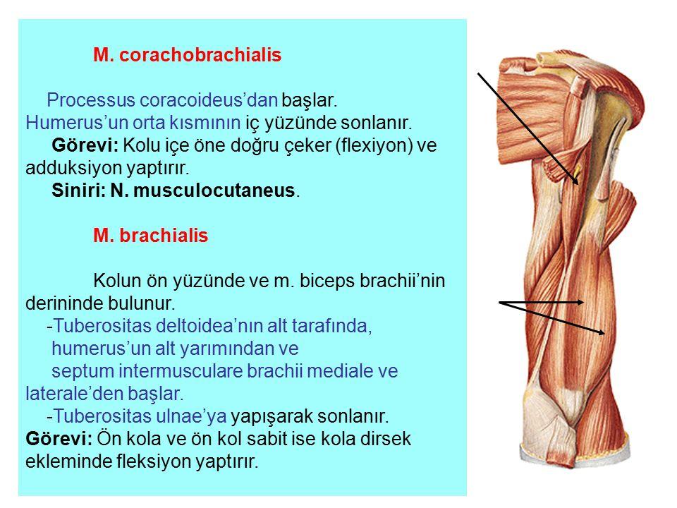 M. corachobrachialis Processus coracoideus'dan başlar. Humerus'un orta kısmının iç yüzünde sonlanır. Görevi: Kolu içe öne doğru çeker (flexiyon) ve ad