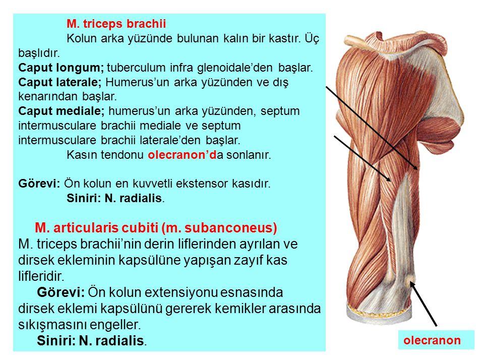 M. triceps brachii Kolun arka yüzünde bulunan kalın bir kastır. Üç başlıdır. Caput longum; tuberculum infra glenoidale'den başlar. Caput laterale; Hum
