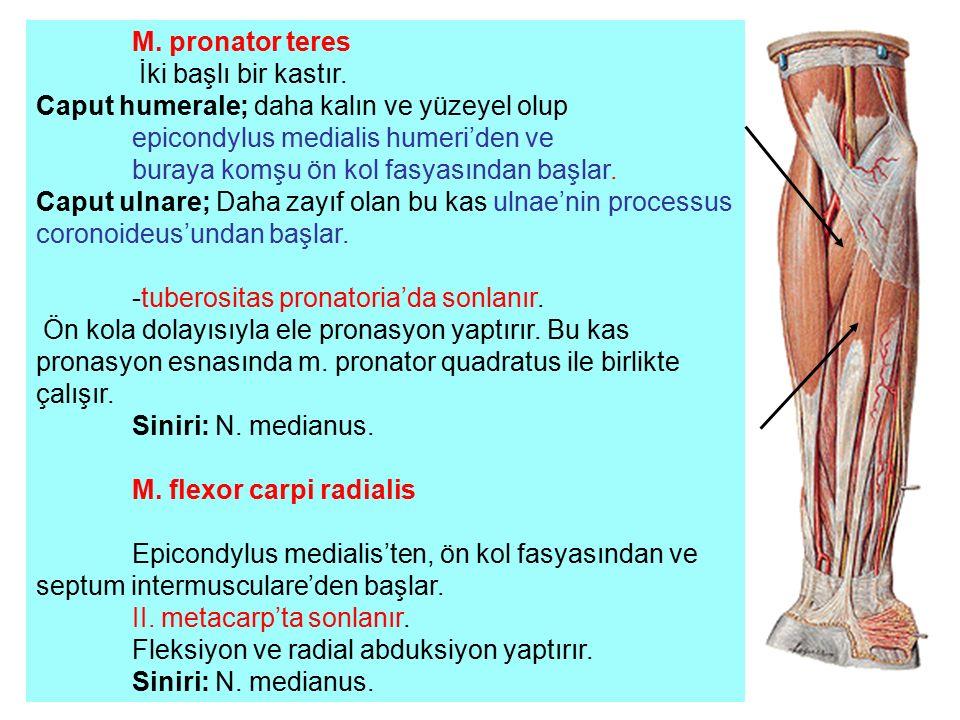 M. pronator teres İki başlı bir kastır. Caput humerale; daha kalın ve yüzeyel olup epicondylus medialis humeri'den ve buraya komşu ön kol fasyasından