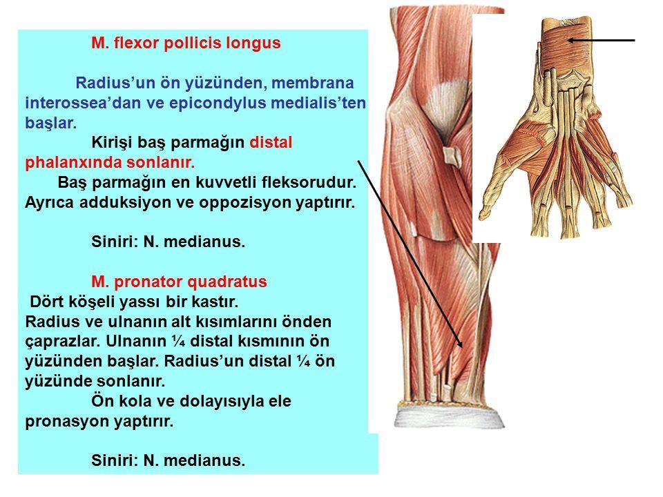 M. flexor pollicis longus Radius'un ön yüzünden, membrana interossea'dan ve epicondylus medialis'ten başlar. Kirişi baş parmağın distal phalanxında so