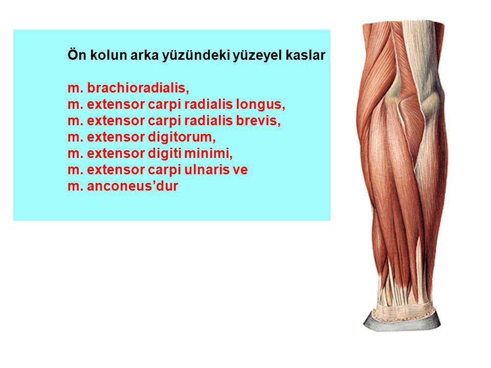 Ön kolun arka yüzündeki yüzeyel kaslar m. brachioradialis, m. extensor carpi radialis longus, m. extensor carpi radialis brevis, m. extensor digitorum
