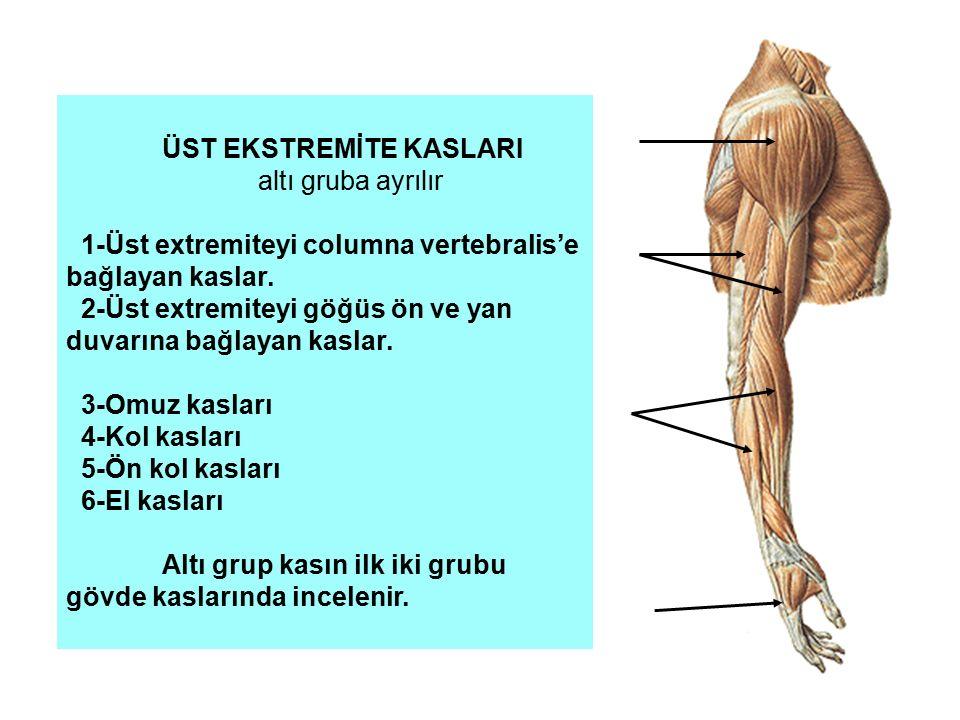 ÜST EKSTREMİTE KASLARI altı gruba ayrılır 1-Üst extremiteyi columna vertebralis'e bağlayan kaslar. 2-Üst extremiteyi göğüs ön ve yan duvarına bağlayan