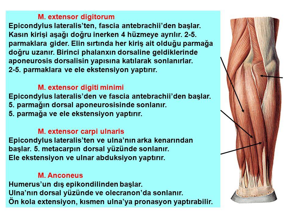 M. extensor digitorum Epicondylus lateralis'ten, fascia antebrachii'den başlar. Kasın kirişi aşağı doğru inerken 4 hüzmeye ayrılır. 2-5. parmaklara gi