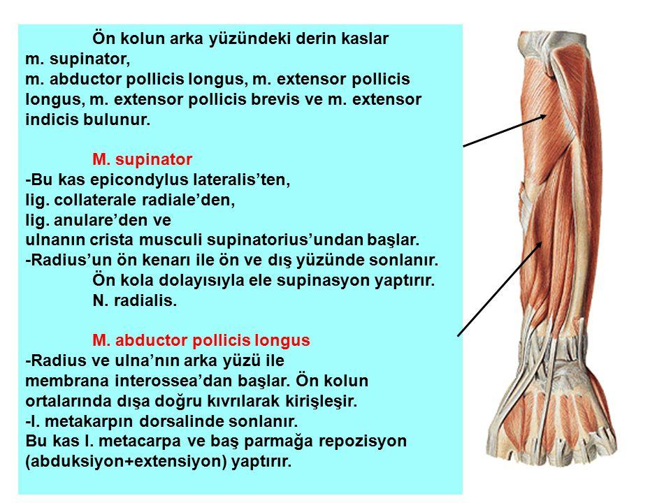 Ön kolun arka yüzündeki derin kaslar m. supinator, m. abductor pollicis longus, m. extensor pollicis longus, m. extensor pollicis brevis ve m. extenso