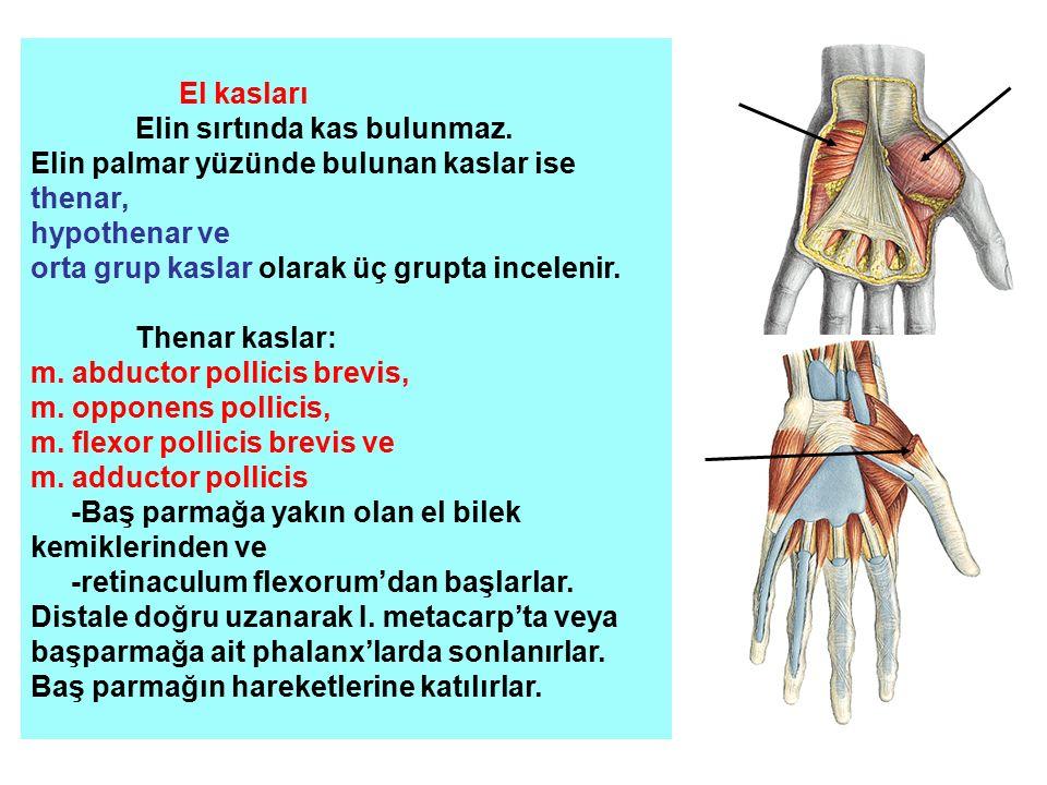 El kasları Elin sırtında kas bulunmaz. Elin palmar yüzünde bulunan kaslar ise thenar, hypothenar ve orta grup kaslar olarak üç grupta incelenir. Thena