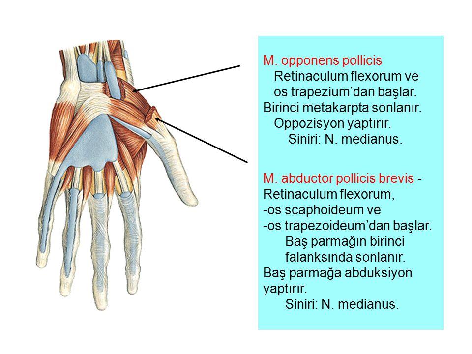 M. opponens pollicis Retinaculum flexorum ve os trapezium'dan başlar. Birinci metakarpta sonlanır. Oppozisyon yaptırır. Siniri: N. medianus. M. abduct