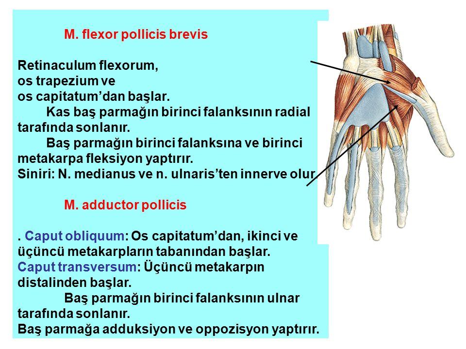M. flexor pollicis brevis Retinaculum flexorum, os trapezium ve os capitatum'dan başlar. Kas baş parmağın birinci falanksının radial tarafında sonlanı