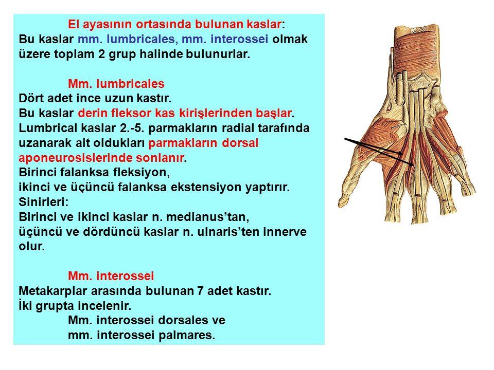 El ayasının ortasında bulunan kaslar: Bu kaslar mm. lumbricales, mm. interossei olmak üzere toplam 2 grup halinde bulunurlar. Mm. lumbricales Dört ade