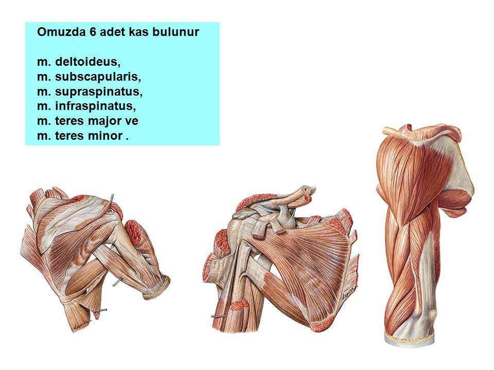 Omuzda 6 adet kas bulunur m. deltoideus, m. subscapularis, m. supraspinatus, m. infraspinatus, m. teres major ve m. teres minor.