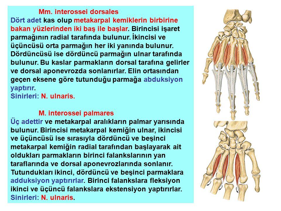 Mm. interossei dorsales Dört adet kas olup metakarpal kemiklerin birbirine bakan yüzlerinden iki baş ile başlar. Birincisi işaret parmağının radial ta