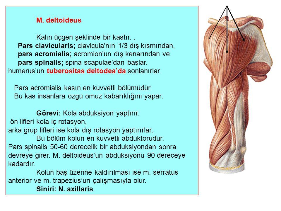 M. deltoideus Kalın üçgen şeklinde bir kastır.. Pars clavicularis; clavicula'nın 1/3 dış kısmından, pars acromialis; acromion'un dış kenarından ve par