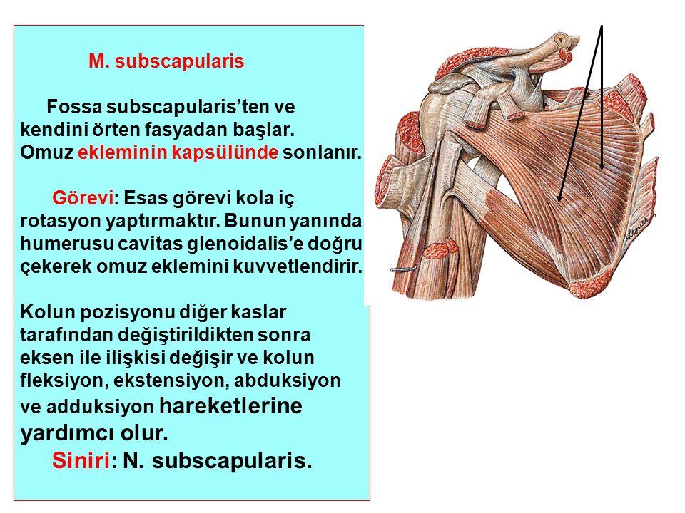 M. subscapularis Fossa subscapularis'ten ve kendini örten fasyadan başlar. Omuz ekleminin kapsülünde sonlanır. Görevi: Esas görevi kola iç rotasyon ya