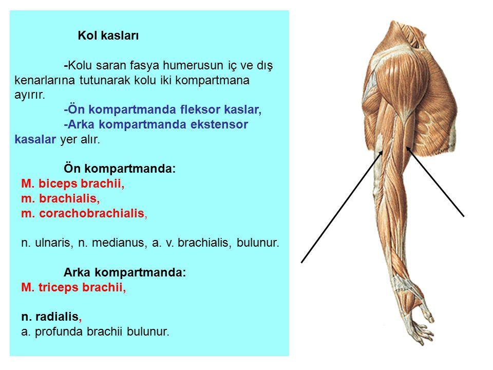 Kol kasları -Kolu saran fasya humerusun iç ve dış kenarlarına tutunarak kolu iki kompartmana ayırır. -Ön kompartmanda fleksor kaslar, -Arka kompartman