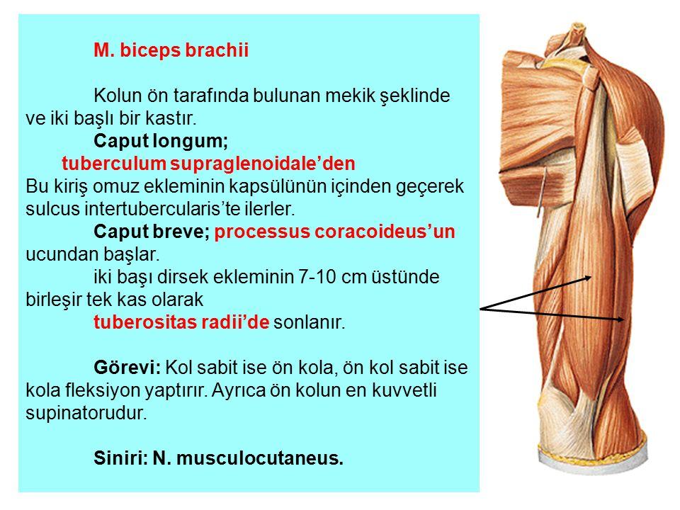 M. biceps brachii Kolun ön tarafında bulunan mekik şeklinde ve iki başlı bir kastır. Caput longum; tuberculum supraglenoidale'den Bu kiriş omuz eklemi