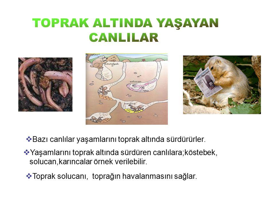  Bazı canlılar yaşamlarını toprak altında sürdürürler.  Yaşamlarını toprak altında sürdüren canlılara;köstebek, solucan,karıncalar örnek verilebilir