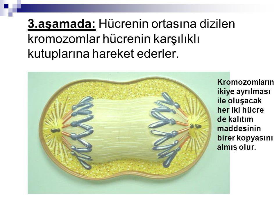 3.aşamada: Hücrenin ortasına dizilen kromozomlar hücrenin karşılıklı kutuplarına hareket ederler. Kromozomların ikiye ayrılması ile oluşacak her iki h