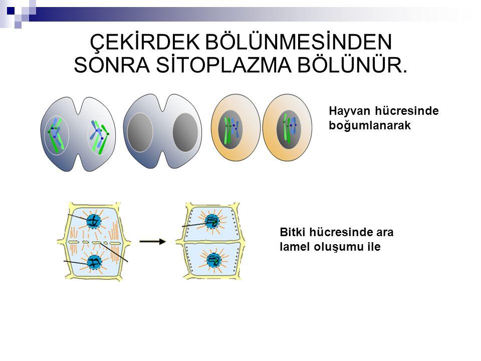 ÇEKİRDEK BÖLÜNMESİNDEN SONRA SİTOPLAZMA BÖLÜNÜR. Hayvan hücresinde boğumlanarak Bitki hücresinde ara lamel oluşumu ile