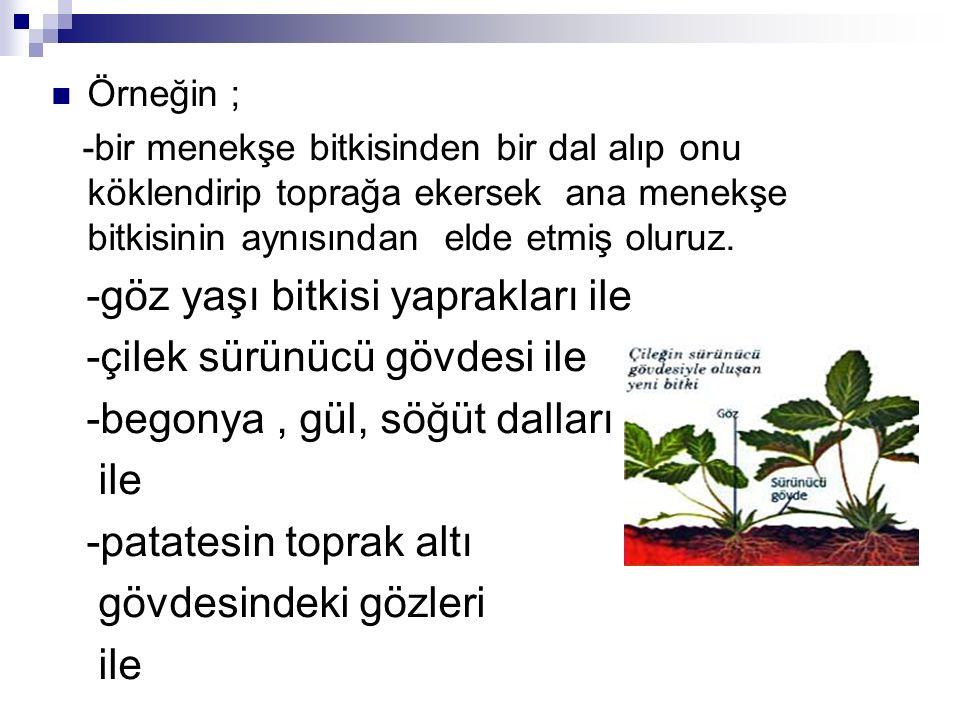 Örneğin ; -bir menekşe bitkisinden bir dal alıp onu köklendirip toprağa ekersek ana menekşe bitkisinin aynısından elde etmiş oluruz. -göz yaşı bitkisi