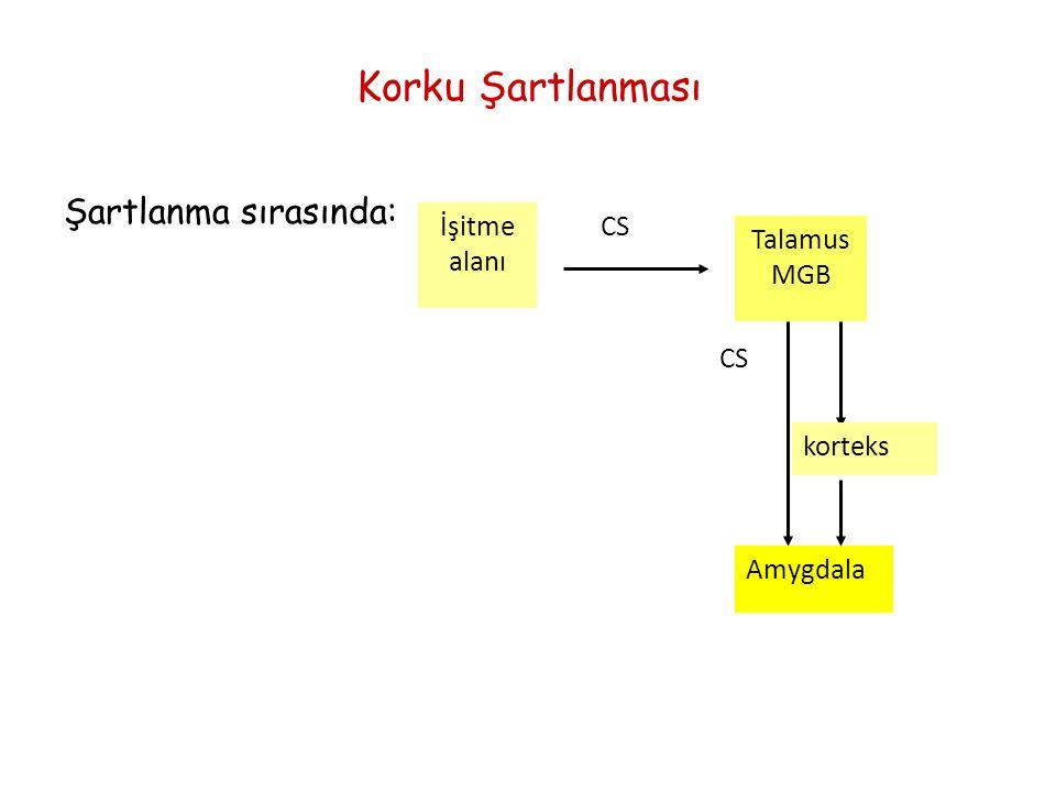 Korku Şartlanması Şartlanma sırasında: CSİşitme alanı Talamus MGB CS Amygdala korteks