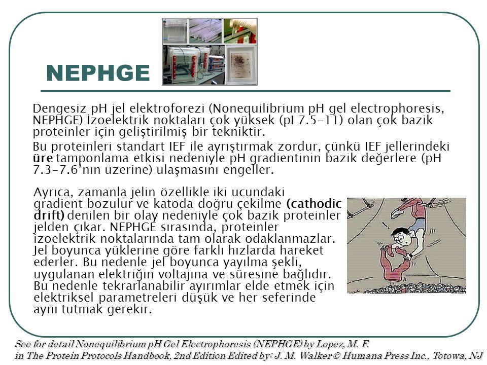 NEPHGE Dengesiz pH jel elektroforezi (Nonequilibrium pH gel electrophoresis, NEPHGE) İzoelektrik noktaları çok yüksek (pI 7.5-11) olan çok bazik proteinler için geliştirilmiş bir tekniktir.