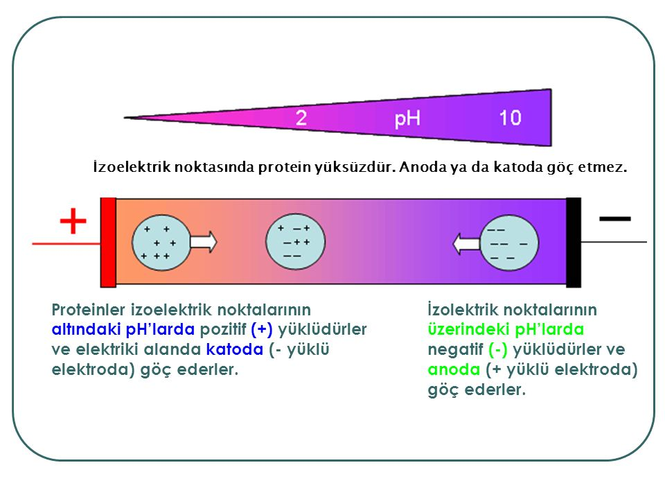 Amaç: Tüm gen ürünlerini ayırmak Binlerce proteini aynı anda ayırma yeteneğine sahip tek yöntem İlk boyut: İzoelektrik odaklama (Isoelectric focusing, IF): Proteinler pH gradienti oluşturulmuş bir destek üzerinde, izoelektrik noktalarına (yüklerine) göre ayrışırlar.