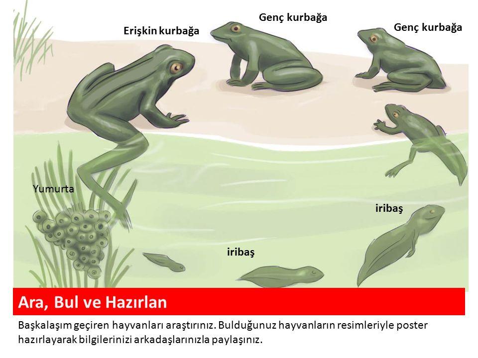 Yumurta iribaş Genç kurbağa Erişkin kurbağa Ara, Bul ve Hazırlan Başkalaşım geçiren hayvanları araştırınız.
