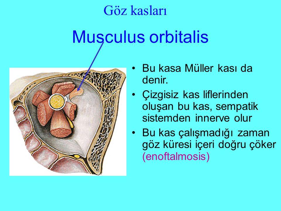 Musculus orbitalis Bu kasa Müller kası da denir.