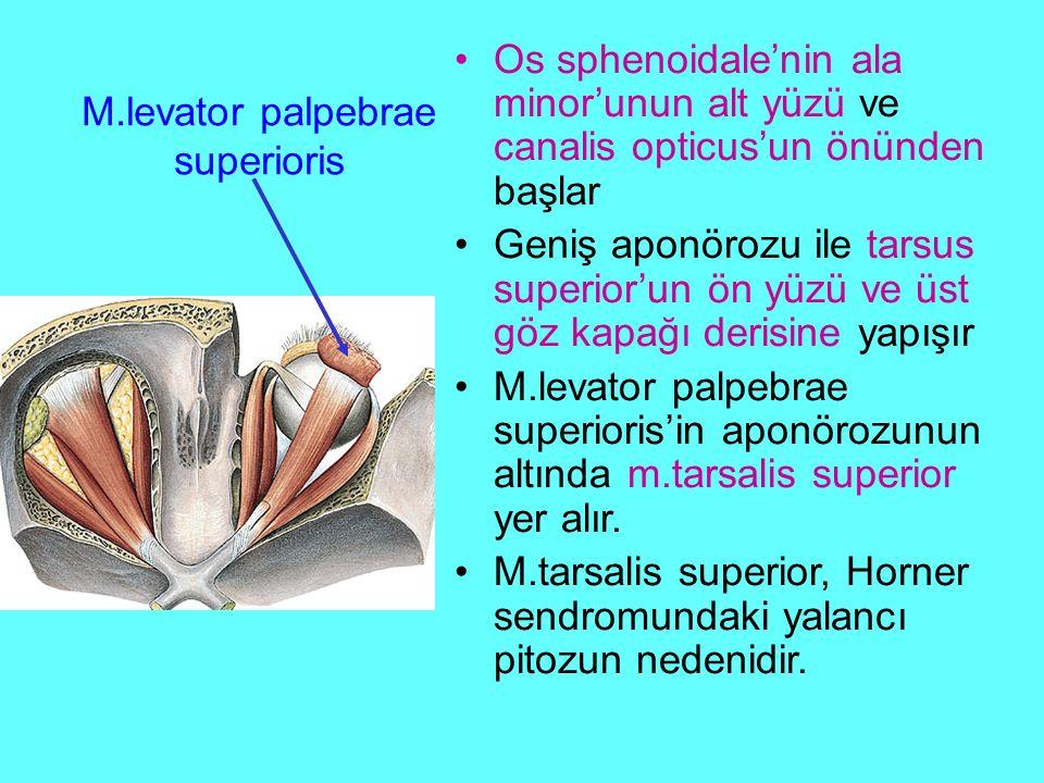 M.levator palpebrae superioris Os sphenoidale'nin ala minor'unun alt yüzü ve canalis opticus'un önünden başlar Geniş aponörozu ile tarsus superior'un ön yüzü ve üst göz kapağı derisine yapışır M.levator palpebrae superioris'in aponörozunun altında m.tarsalis superior yer alır.