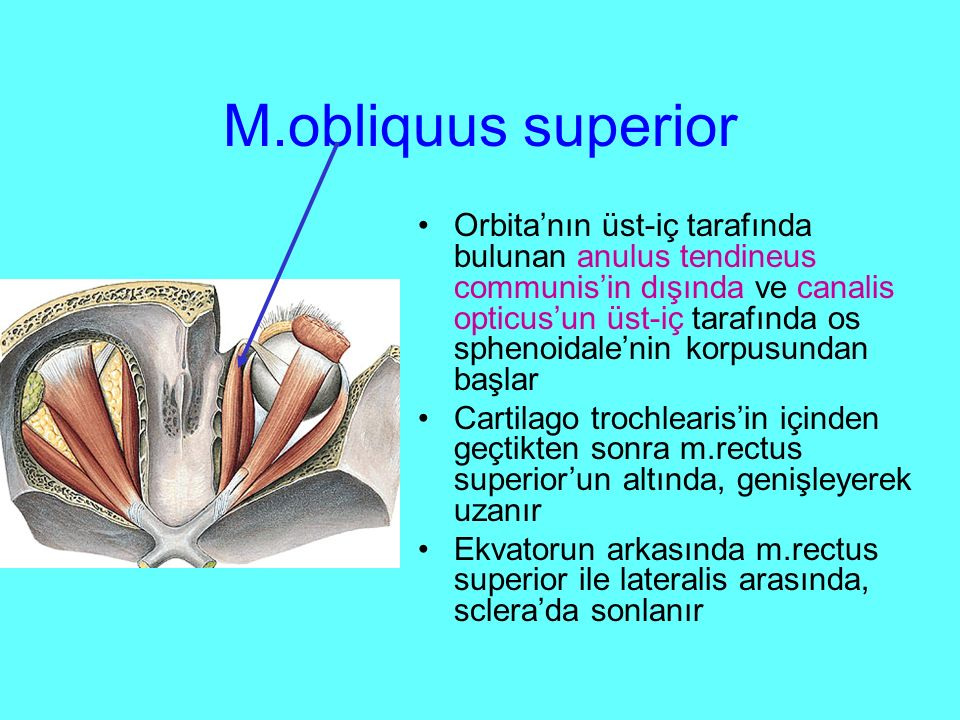 M.obliquus superior Orbita'nın üst-iç tarafında bulunan anulus tendineus communis'in dışında ve canalis opticus'un üst-iç tarafında os sphenoidale'nin korpusundan başlar Cartilago trochlearis'in içinden geçtikten sonra m.rectus superior'un altında, genişleyerek uzanır Ekvatorun arkasında m.rectus superior ile lateralis arasında, sclera'da sonlanır