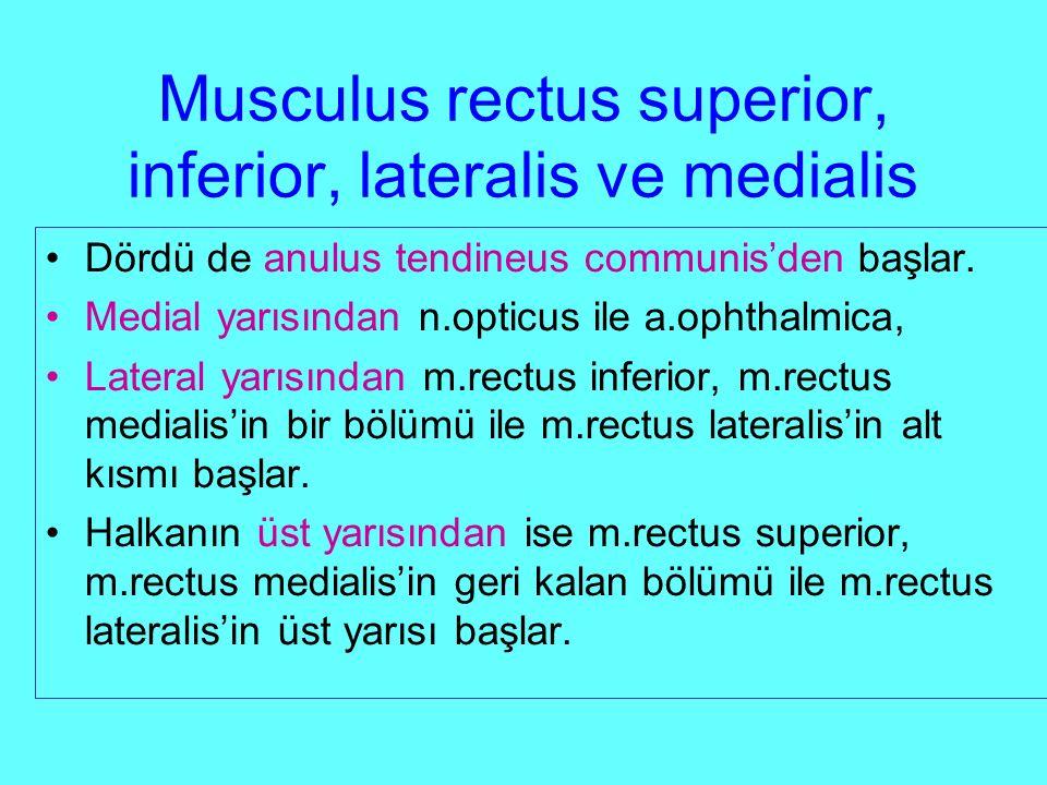 Musculus rectus superior, inferior, lateralis ve medialis Dördü de anulus tendineus communis'den başlar.