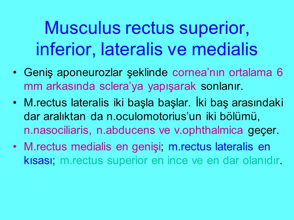 Musculus rectus superior, inferior, lateralis ve medialis Geniş aponeurozlar şeklinde cornea'nın ortalama 6 mm arkasında sclera'ya yapışarak sonlanır.