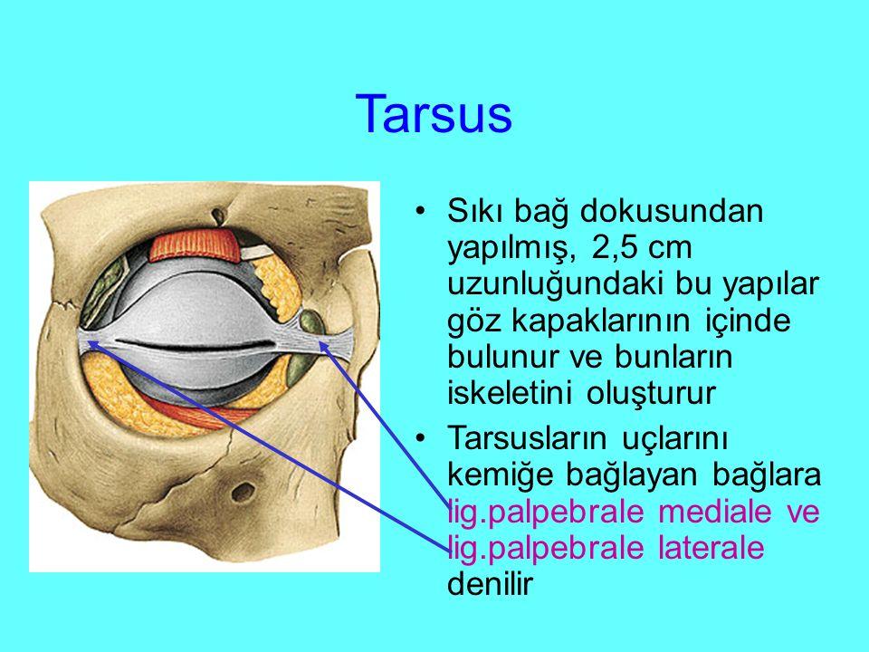 Tarsus Sıkı bağ dokusundan yapılmış, 2,5 cm uzunluğundaki bu yapılar göz kapaklarının içinde bulunur ve bunların iskeletini oluşturur Tarsusların uçlarını kemiğe bağlayan bağlara lig.palpebrale mediale ve lig.palpebrale laterale denilir