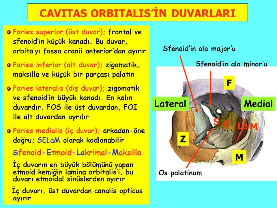 LateralMedial CAVITAS ORBITALIS'İN DUVARLARI Paries superior (üst duvar); frontal ve sfenoid'in küçük kanadı.