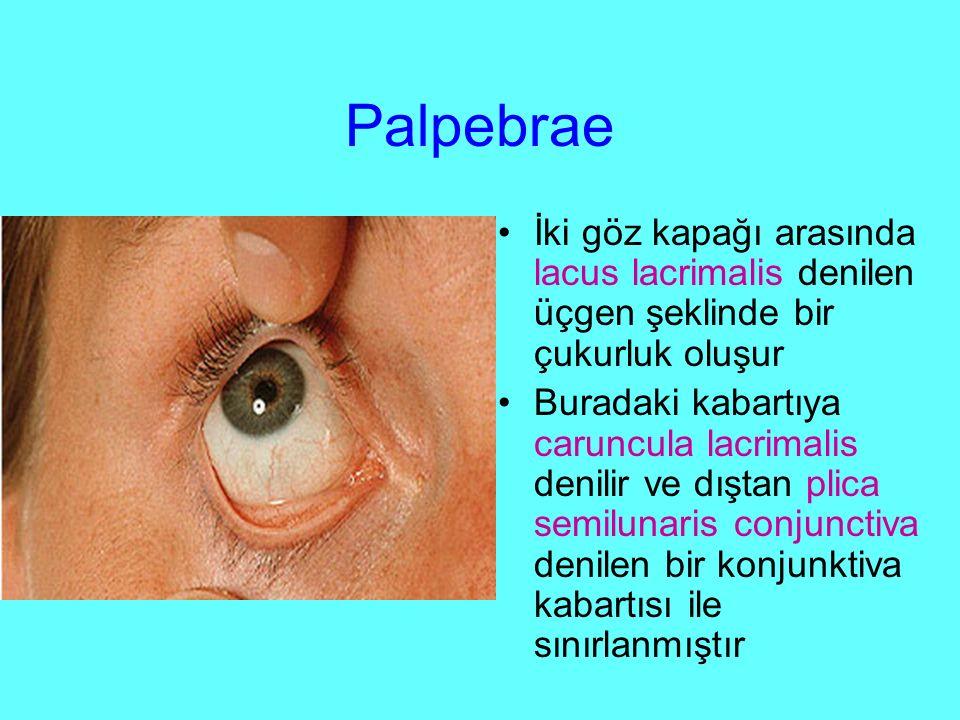 Palpebrae İki göz kapağı arasında lacus lacrimalis denilen üçgen şeklinde bir çukurluk oluşur Buradaki kabartıya caruncula lacrimalis denilir ve dıştan plica semilunaris conjunctiva denilen bir konjunktiva kabartısı ile sınırlanmıştır