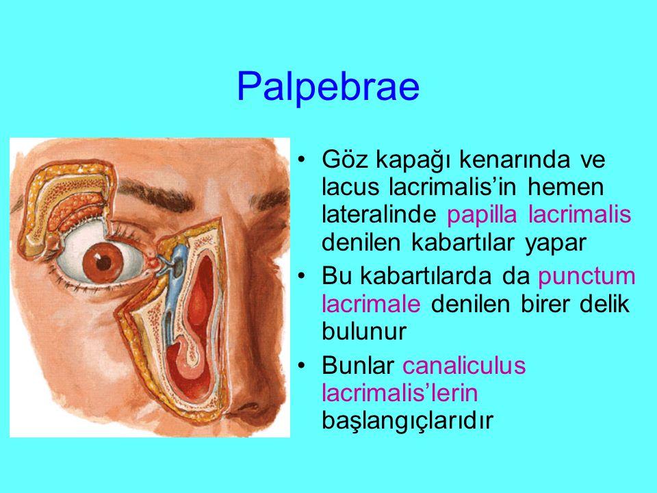 Palpebrae Göz kapağı kenarında ve lacus lacrimalis'in hemen lateralinde papilla lacrimalis denilen kabartılar yapar Bu kabartılarda da punctum lacrimale denilen birer delik bulunur Bunlar canaliculus lacrimalis'lerin başlangıçlarıdır