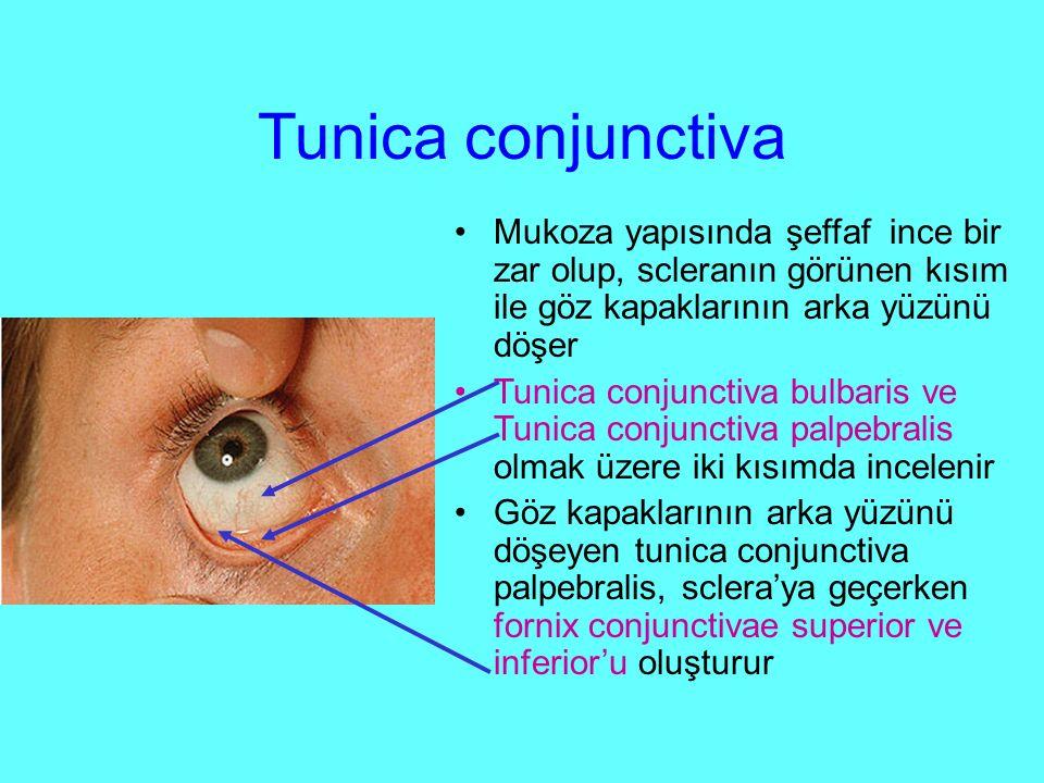 Tunica conjunctiva Mukoza yapısında şeffaf ince bir zar olup, scleranın görünen kısım ile göz kapaklarının arka yüzünü döşer Tunica conjunctiva bulbaris ve Tunica conjunctiva palpebralis olmak üzere iki kısımda incelenir Göz kapaklarının arka yüzünü döşeyen tunica conjunctiva palpebralis, sclera'ya geçerken fornix conjunctivae superior ve inferior'u oluşturur