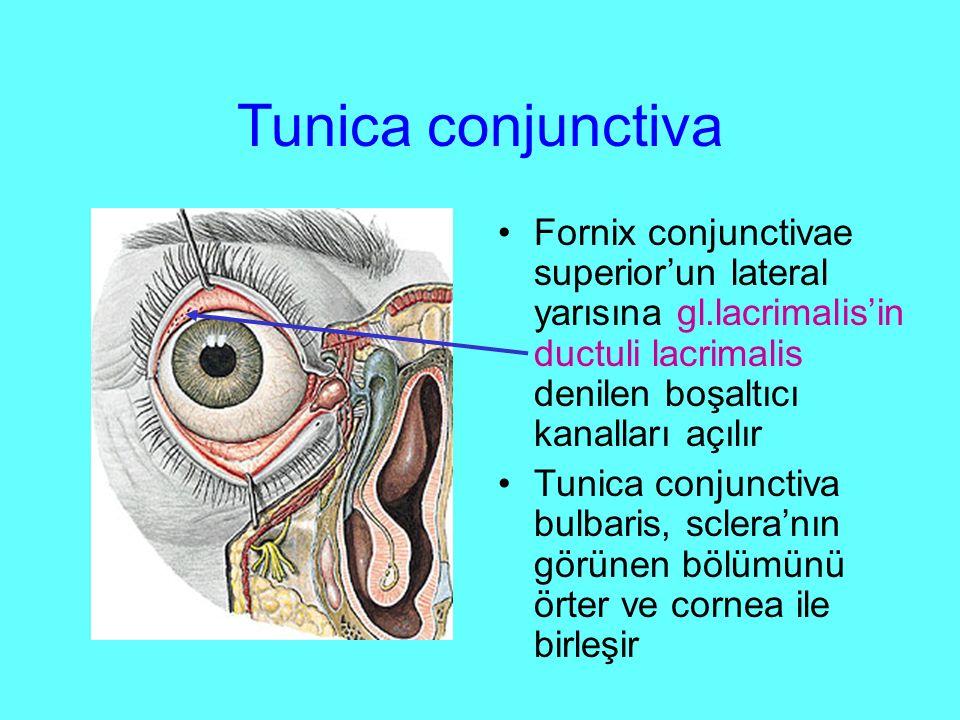 Tunica conjunctiva Fornix conjunctivae superior'un lateral yarısına gl.lacrimalis'in ductuli lacrimalis denilen boşaltıcı kanalları açılır Tunica conjunctiva bulbaris, sclera'nın görünen bölümünü örter ve cornea ile birleşir