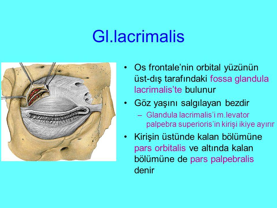 Gl.lacrimalis Os frontale'nin orbital yüzünün üst-dış tarafındaki fossa glandula lacrimalis'te bulunur Göz yaşını salgılayan bezdir –Glandula lacrimalis'i m.levator palpebra superioris'in kirişi ikiye ayırır Kirişin üstünde kalan bölümüne pars orbitalis ve altında kalan bölümüne de pars palpebralis denir