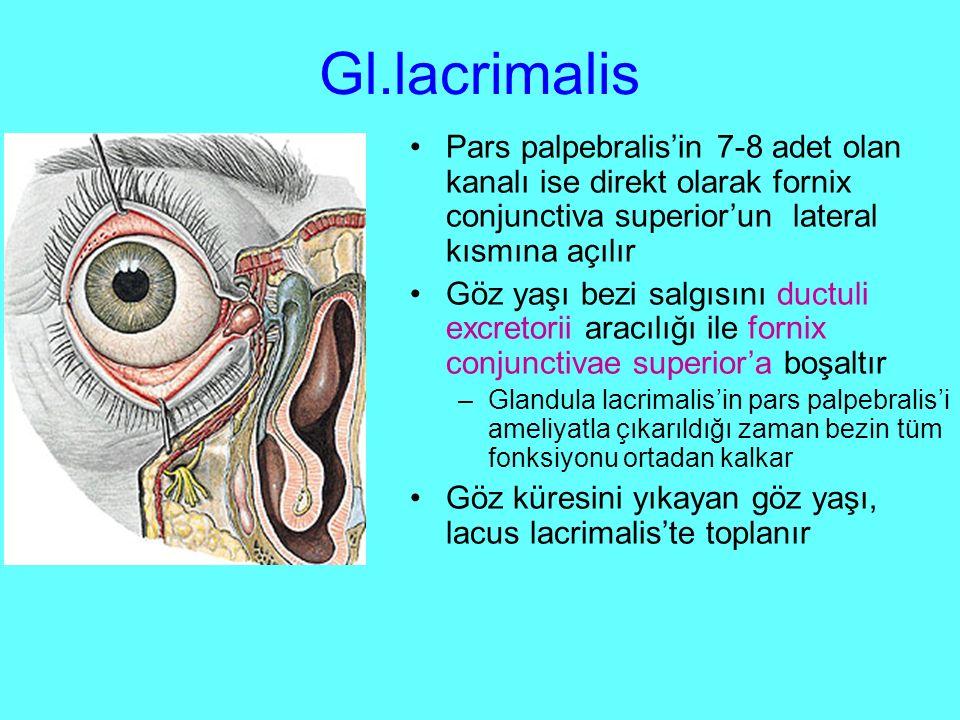 Gl.lacrimalis Pars palpebralis'in 7-8 adet olan kanalı ise direkt olarak fornix conjunctiva superior'un lateral kısmına açılır Göz yaşı bezi salgısını ductuli excretorii aracılığı ile fornix conjunctivae superior'a boşaltır –Glandula lacrimalis'in pars palpebralis'i ameliyatla çıkarıldığı zaman bezin tüm fonksiyonu ortadan kalkar Göz küresini yıkayan göz yaşı, lacus lacrimalis'te toplanır