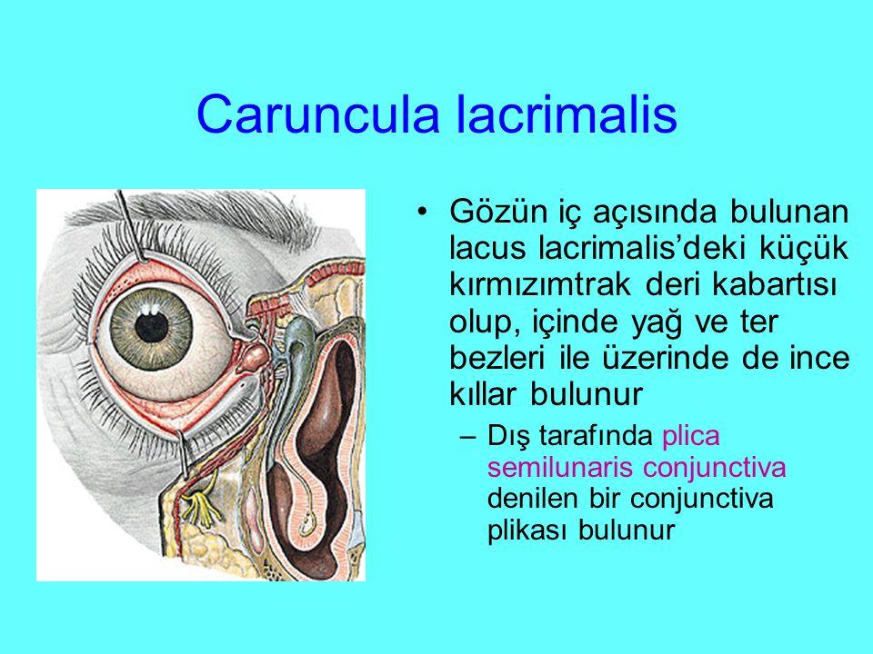 Caruncula lacrimalis Gözün iç açısında bulunan lacus lacrimalis'deki küçük kırmızımtrak deri kabartısı olup, içinde yağ ve ter bezleri ile üzerinde de ince kıllar bulunur –Dış tarafında plica semilunaris conjunctiva denilen bir conjunctiva plikası bulunur