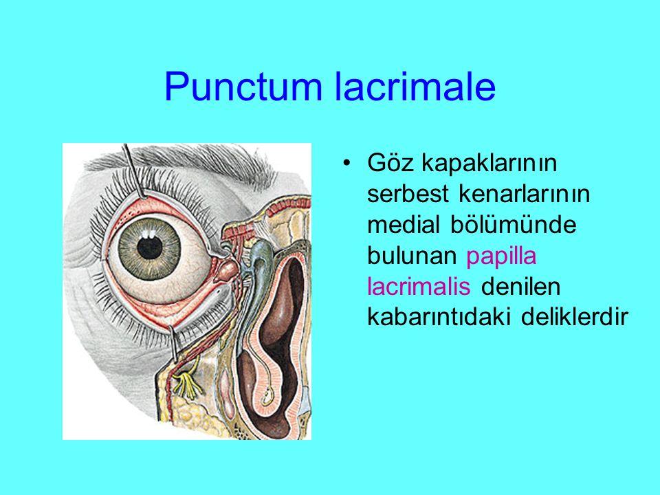 Punctum lacrimale Göz kapaklarının serbest kenarlarının medial bölümünde bulunan papilla lacrimalis denilen kabarıntıdaki deliklerdir