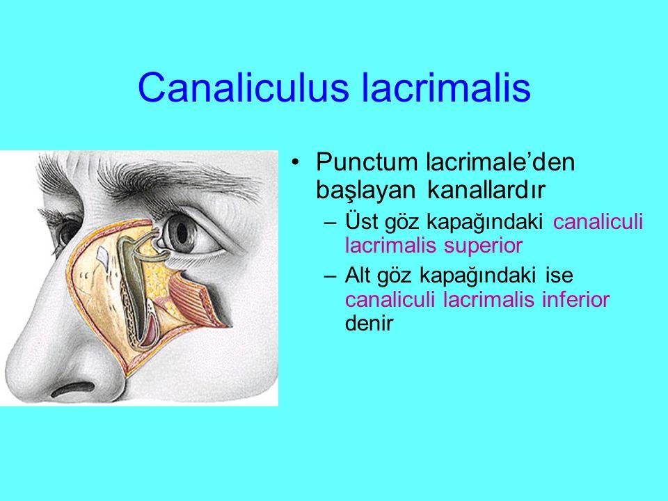 Canaliculus lacrimalis Punctum lacrimale'den başlayan kanallardır –Üst göz kapağındaki canaliculi lacrimalis superior –Alt göz kapağındaki ise canaliculi lacrimalis inferior denir