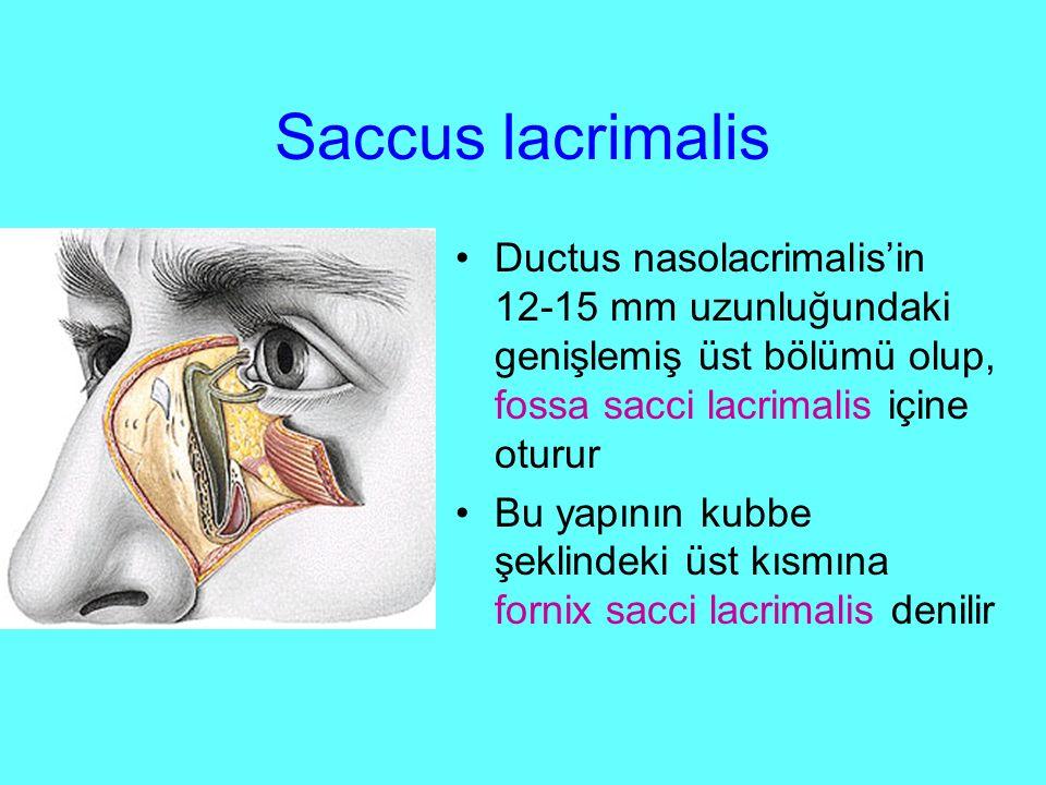 Saccus lacrimalis Ductus nasolacrimalis'in 12-15 mm uzunluğundaki genişlemiş üst bölümü olup, fossa sacci lacrimalis içine oturur Bu yapının kubbe şeklindeki üst kısmına fornix sacci lacrimalis denilir