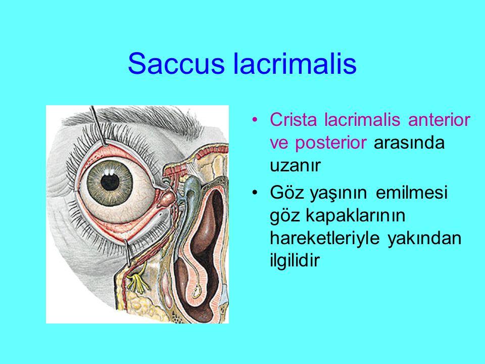 Saccus lacrimalis Crista lacrimalis anterior ve posterior arasında uzanır Göz yaşının emilmesi göz kapaklarının hareketleriyle yakından ilgilidir